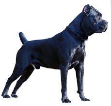 Compare Cane Corso Italiano vs Rottweiler | Difference ...