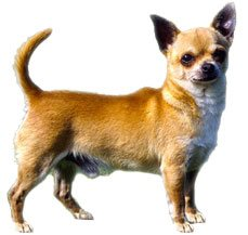 Chihuahua (Long & Smooth Coat)