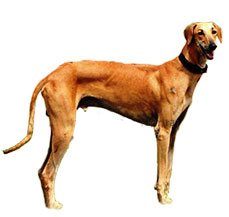 Chippiparai Dog Breed Information | Dogspot in