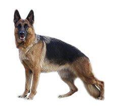German Sheperd Purina Dog Show