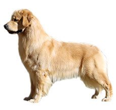 Compare Golden Retriever Vs Labrador Retriever Difference Between