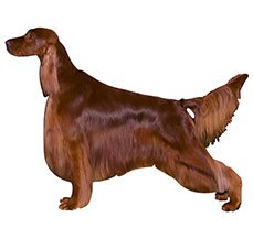 Compare Golden Retriever Vs Irish Setter Difference Between Golden