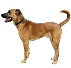 Dog Breeds Name In Tamil Nadu