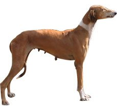 Hound Dog Breed Characteristics