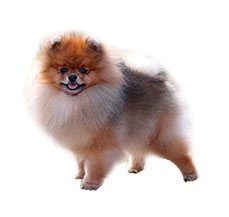 Pomeranian Dog Breed Information Dogspot In