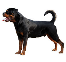 Compare Rottweiler Vs Tibetan Mastiff Difference Between
