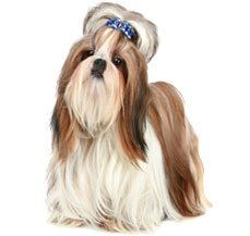shi tzu health problems