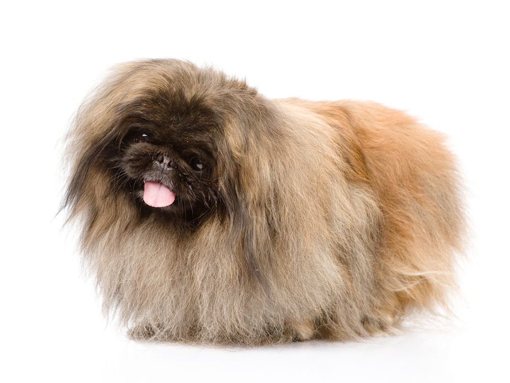 Pekingese Dog Breed Information Dogspotin