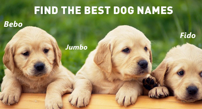 golden retriever male dog names