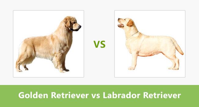 compare golden retriever vs labrador retriever difference between