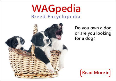 All information about dog breeds - WAGpedia