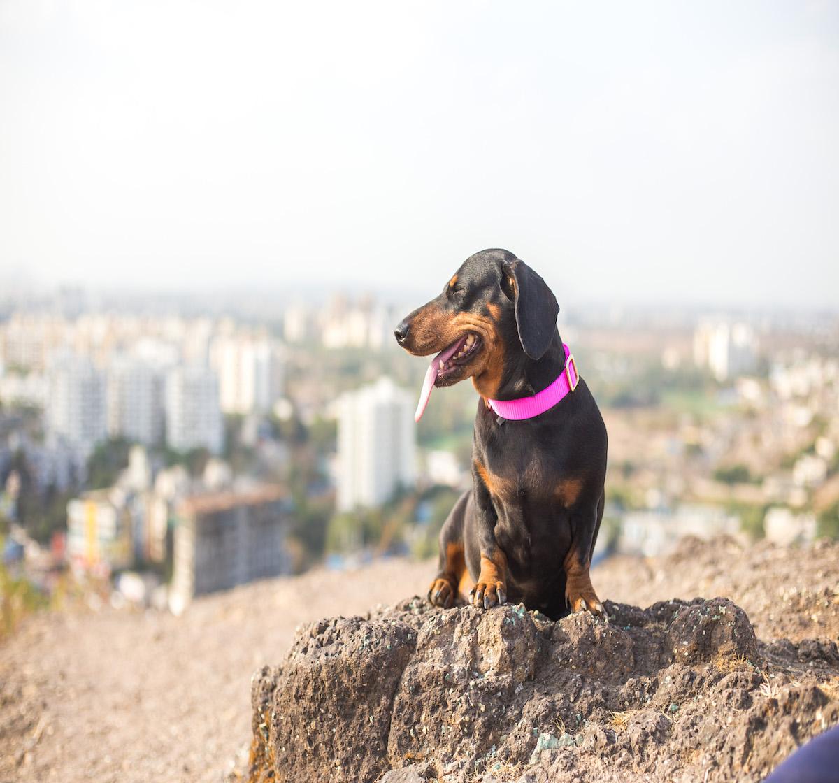 Forfurs Adjustable Classic Dog Collar Hot Pink - Medium