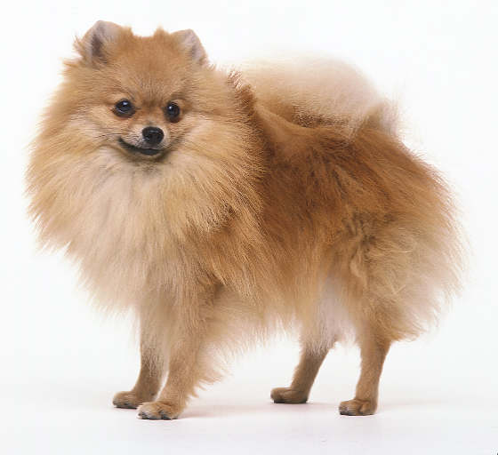 pomeranian history history of pomeranian breed dogspot in 3565