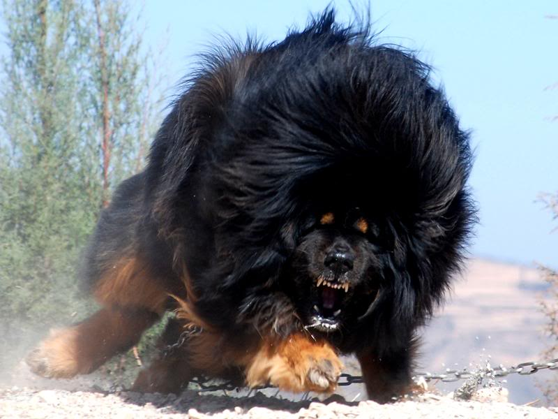 World's Biggest Tibetan Mastiff