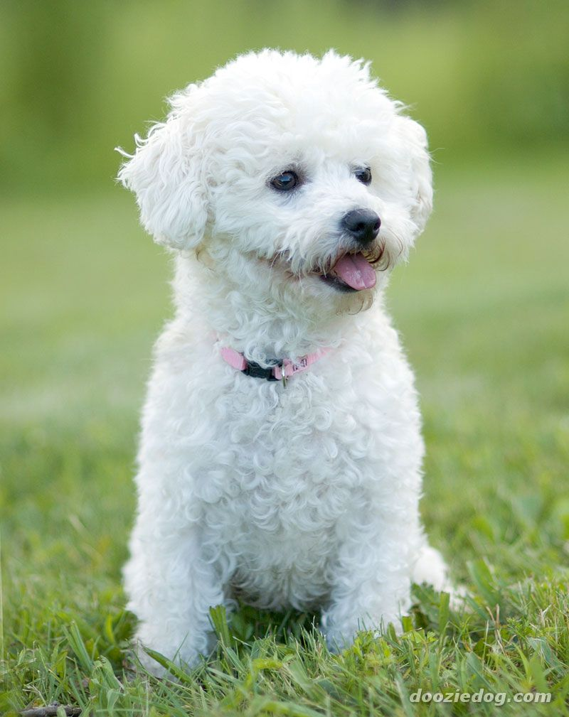 8 Little Dog Breeds That You Can Carry Everywhere | Dogspot.in