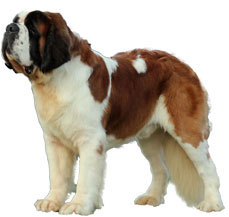 Best Dog Food For Saint Bernards In India