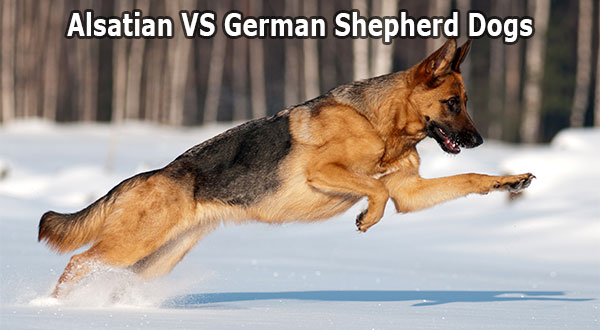 Difference between Alsatian and German Shepherd Dog (GSD)