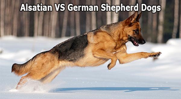 Difference between Alsatian and German Shepherd Dog