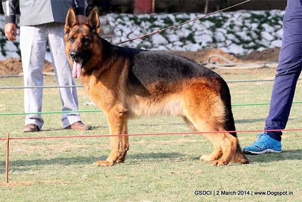 alsation dog