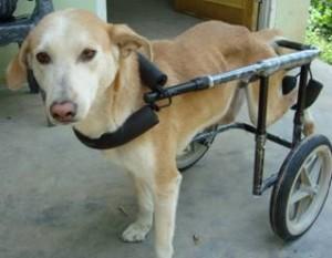 handicapped stray dog