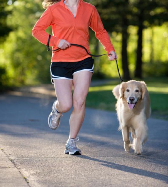 Retriever jogging