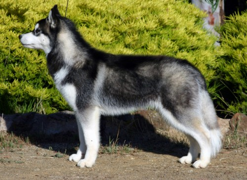 5 Dog Beautiful Breeds With Double Coats | Dogspot.in
