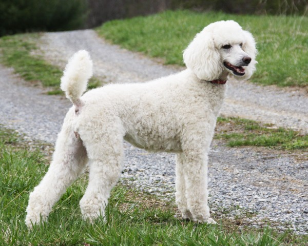 Standard-Poodle-Care-and-Training
