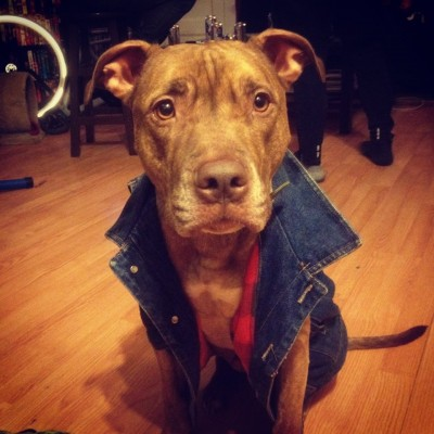 scout the pitbull