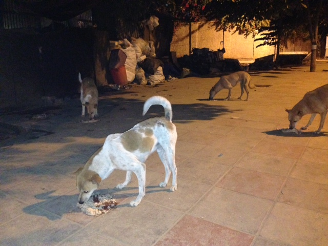 stray dog feeding