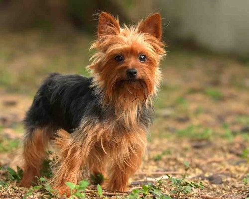 wanted-yorkshire-terrier-puppy-female-51a22e8faaace
