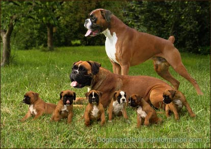boxers-with-puppies