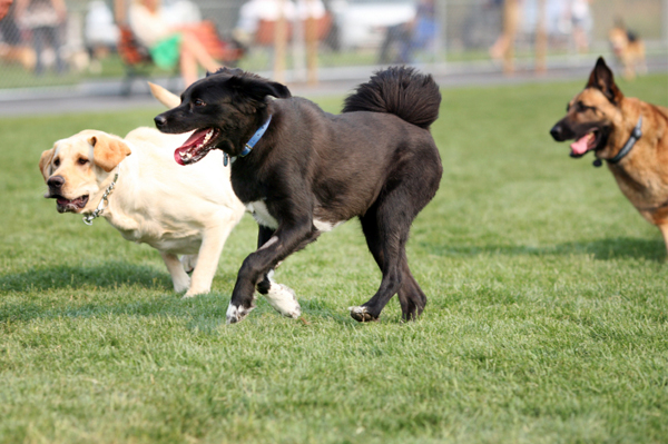 dogs-playing-at-dog-park