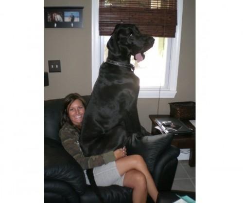 lap dog 1