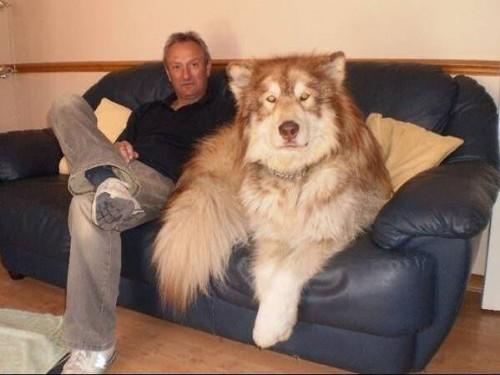 lap dog 12