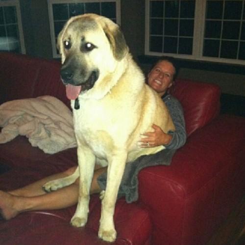 lap dog 16
