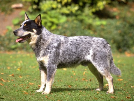 australian-cattle-dog-11