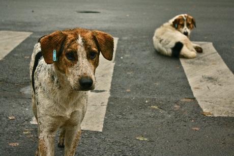 sindian street dogs