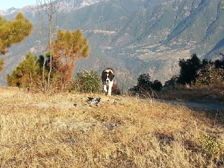 Hunter at dharamshala