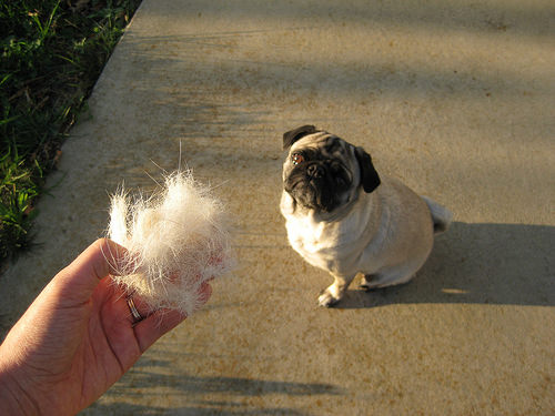 Pug_Shedding_Top