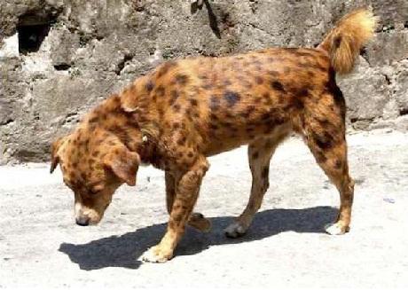 cheetah or a dog