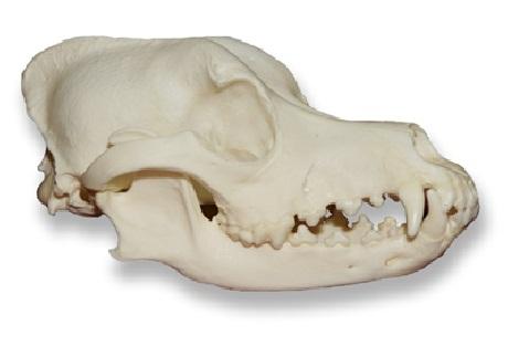 melo skull