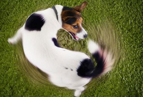 Dog circling