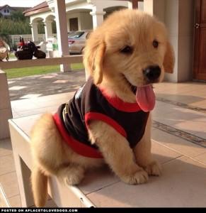 cute-golden-retriever-puppy