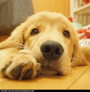 golden-golden-retriever-puppy
