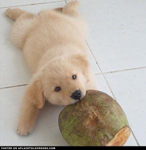 golden-retriever-puppy-gloria