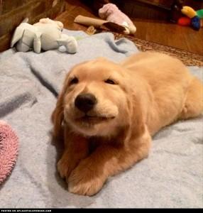 golden-retriever-puppy-lilly