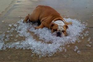 bulldog-ice