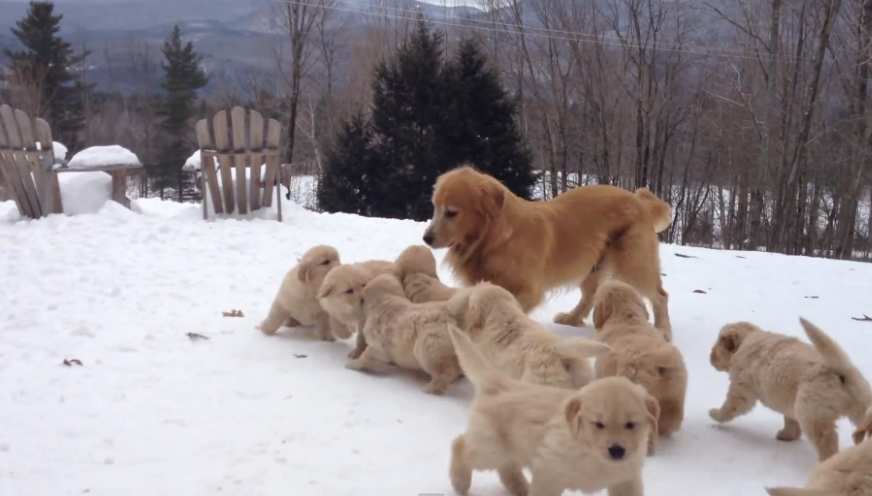 A-Golden-Retriever-mother-playing-with-her-pack-of-puppies-and-they-are-incredibly-cute.