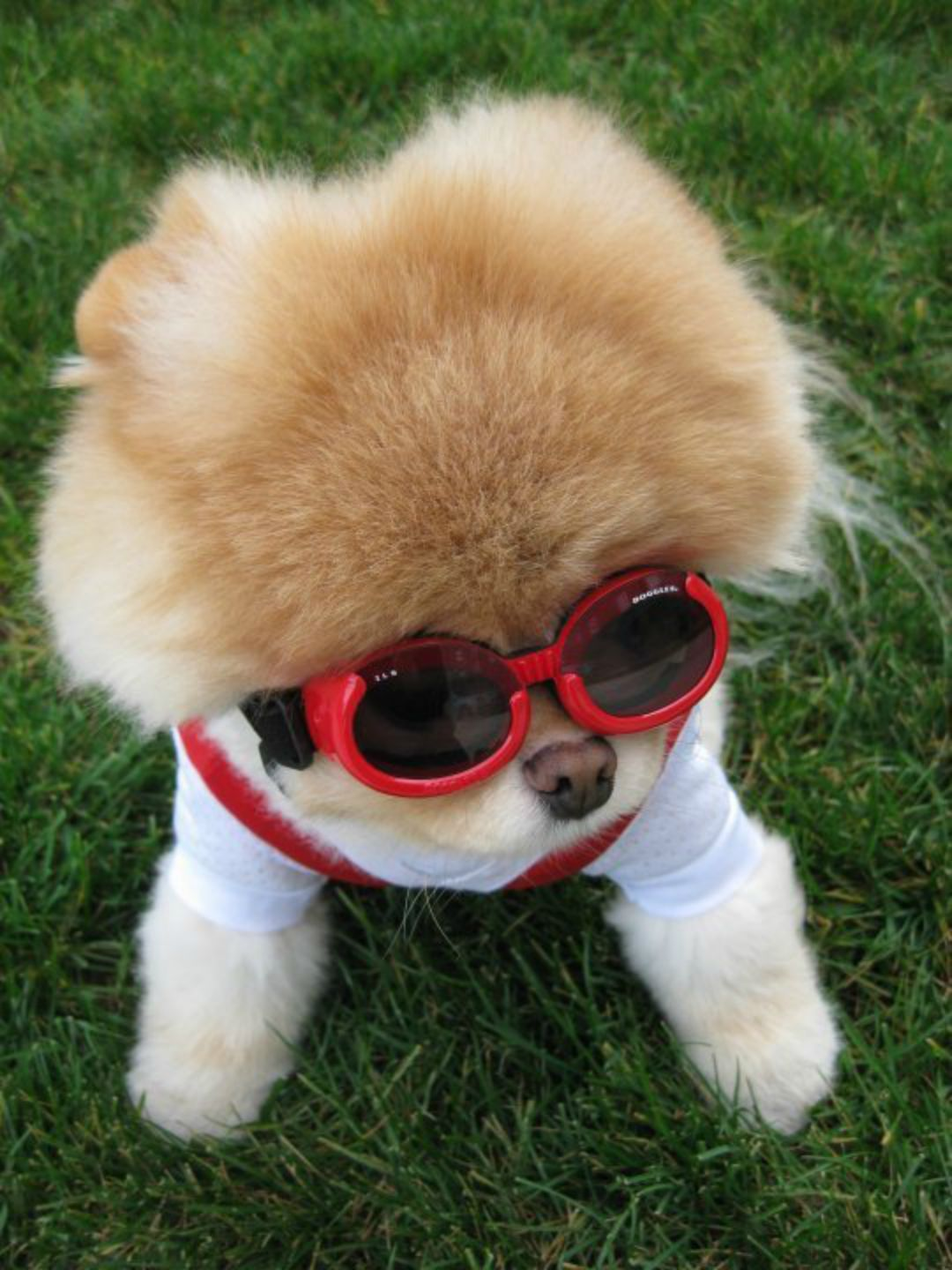 boo-the-dog-goggles