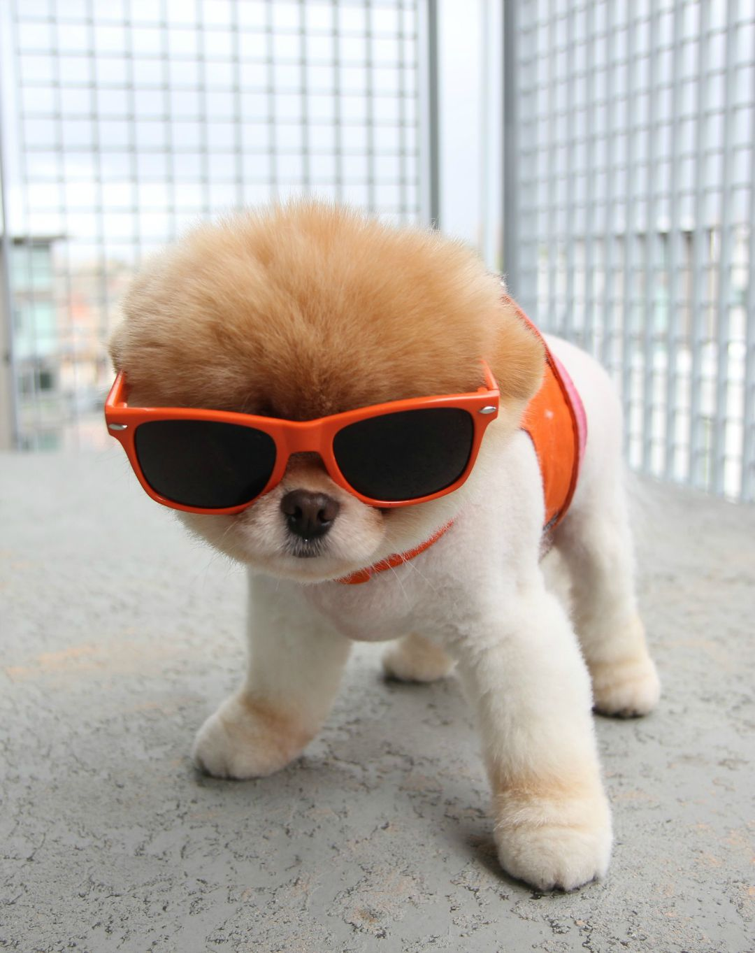 boo-the-dog-sunglasses